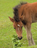 Wild Foal Stock Photo