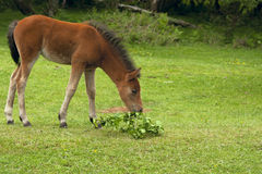Wild Foal Royalty Free Stock Image