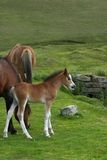 Wild Foal Stock Photography