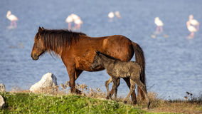 Wild Foal Horse Royalty Free Stock Photography