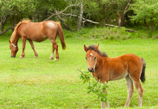 Wild Foal with Mare in the Background Stock Image