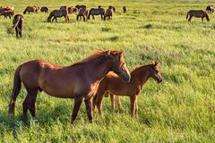 Wild foal and mare horses grazing on summer meadow Stock Images