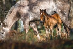 Wild foal with mother royalty free stock image