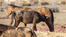 Wild Foal Sucking Royalty Free Stock Image