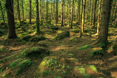 Wild forest Royalty Free Stock Photos