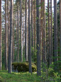 Wild forest. Wild pine forest and moss stone in Finland royalty free stock photos