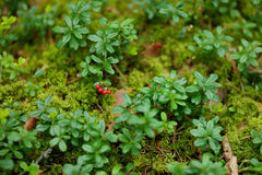 Wild forest berries on a bush Royalty Free Stock Photos