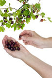 Wild forest berries harvesting Royalty Free Stock Image