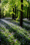 Wild forest bluebells Stock Photography
