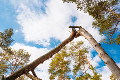 Wild Forest. Broken Pine Tree In Green Coniferous Forest Stock Photography