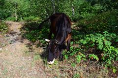 Wild forest cow Royalty Free Stock Photography