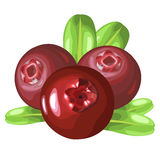 Wild forest cowberries Stock Image