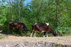 Wild forest cows Stock Photography