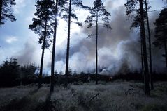 Wild Forest Fire. Forest fire in coniferous forest plantation Stock Image