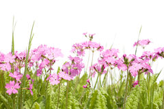 Free Wild Forest Flowers Primula Royalty Free Stock Photo - 14510895