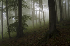 Wild forest with fog and green leaves Royalty Free Stock Photos