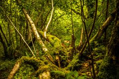 Wild forest. Forest glade with sun streaming in but trees and roots lying at strange angles with moss and bracken everywhere Stock Photography