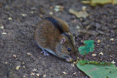 Wild forest hamster . Royalty Free Stock Images