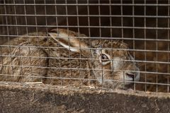 Wild forest hare. In a cage. Mini Zoo Royalty Free Stock Image
