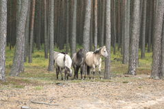 Wild forest horses Royalty Free Stock Photography