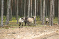 Wild forest horses Royalty Free Stock Image