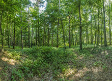 Wild forest at the island of Usedom Stock Photography