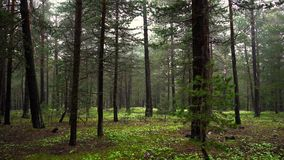 Wild Forest With Lot Of Green Trees. stock video footage