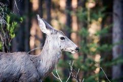 Wild forest mule deer Odocoileus portrait Stock Photos