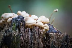 Wild forest mushrooms growing in autumn Royalty Free Stock Image