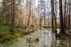 Wild forest. Nature reserve in Poland Stock Images