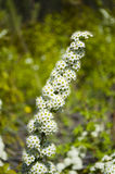 Wild forest plant - Spirea Stock Images