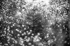 Wild forest plants. And bokeh in black and white, Cotton grass or Wollgras, or Eriophorum Stock Image