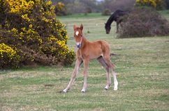 Wild forest pony foal. New born forest pony foal standing by yellow gorse bush Royalty Free Stock Photos
