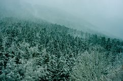 Wild forest of the Pyrenees with its snowy firs and its mystical mist. Forest of snowy white Christmas trees in the Pyrenees mountains in south of France Royalty Free Stock Photo
