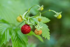 Wild Forest Strawberries Royalty Free Stock Image