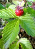 Wild forest strawberry alone in field. Closeup of wild forest strawberry with leaves royalty free stock photography