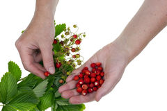 Wild forest  strawberry harvests isolated Royalty Free Stock Image