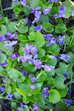 Wild forest violets Royalty Free Stock Photo