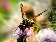 Wild forest wasp in flowers Royalty Free Stock Image
