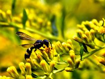 Wild forest wasp in flowers Royalty Free Stock Photo