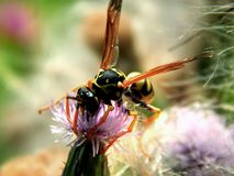 Wild forest wasp in flowers Royalty Free Stock Images