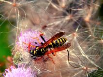 Wild forest wasp in flowers Stock Photo