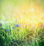 Wild Forget me not flowers in spring grass on sunny nature background with bokeh. Outdoor Stock Photography