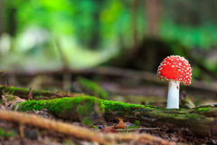 Wild forrest mushroom Royalty Free Stock Photos