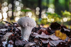 Wild forrest mushroom Royalty Free Stock Photography