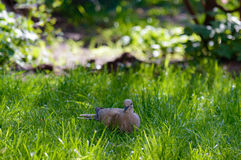 Wild forrest pigeon holding a seed on green grass. Wild forrest pigeon holding a seed in its beak standing on fresh green grass looking at the camera Stock Images
