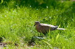 Wild forrest pigeon looking for seeds in fresh green grass. Wild forrest pigeon looking for seeds to eat in the fresh green grass on a sunny day Royalty Free Stock Photos