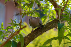 Wild forrest pigeon perched on a branch front view. Wild forrest pigeon perched on a branch in a garden tree looking at the camera front view Stock Photos