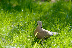 Wild forrest pigeon relaxing in the sun. Standing on fresh green grass Stock Image