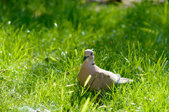 Wild forrest pigeon standing on fresh green grass. Wild forrest pigeon standing in the sun on fresh green grass looking at the camera Royalty Free Stock Image